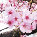【代々木校】桜の季節になりました!
