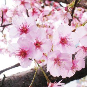 【新宿校】桜の季節になりました!