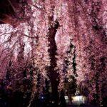 【新宿校】桜の季節♪お花見日和(^O^)