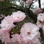 【高田馬場校】春の歌といえば?