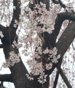 春は涙の季節?