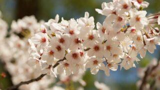 【横浜校】そろそろお花見の季節??