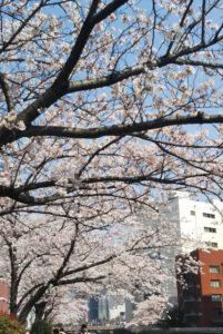 桜満喫しました