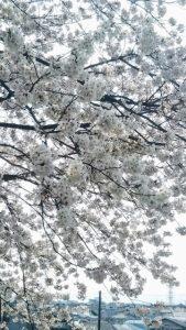 うららかな春のひととき_2