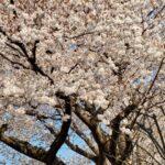 【新宿校】お花見気分♪