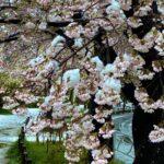 春に歌いたくなる、桜にちなんだ曲ベスト10