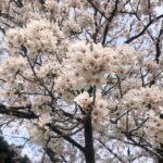 【京都校】お花見!