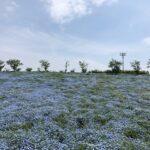 【京都校】ネモフィラ畑